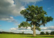 Lonely oak Royalty Free Stock Images