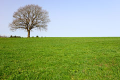 Lonely oak teree Royalty Free Stock Image