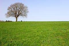 Lonely oak teree. A lonely oak tree by city Pruem, Rheinland-Pfalz / Germany Royalty Free Stock Image