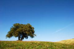 Lonely oak tree royalty free stock photography
