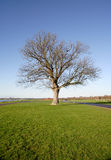 Lonely Oak Tree. Lonely Old Oak Tree in the Winter Sunshine Stock Image