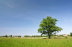 Lonely oak tree. On a grass field Royalty Free Stock Photo