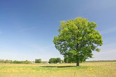 Lonely oak tree. On a grass field Stock Image