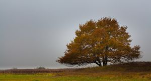 Lonely Oak tree in evening autumn colors Poland. At the Biebrza marshes national park in Poland, a lonely Oak tree shows the last autumn colors in it`s foliage royalty free stock photography