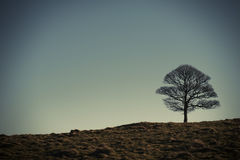 Lonely oak tree in Lyme Park, Stockport Cheshire England winter day. Royalty Free Stock Photography