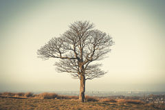 Lonely oak tree in Lyme Park, Stockport Cheshire England winter day. Stock Image