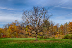 Lonely oak tree Stock Image