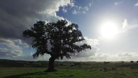 Lonely Oak Tree on a Winter Meadow. Sunny day stock video