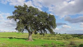 Lonely Oak Tree on a Winter Meadow. Sunny day stock footage