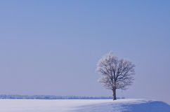Lonely oak in winter Royalty Free Stock Image