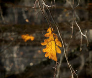 Lonely oak yellow leaf 3 Royalty Free Stock Image