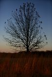 Lonely Oklahoma Tree. A tree with a few leaves during sunset in Oklahoma Royalty Free Stock Images