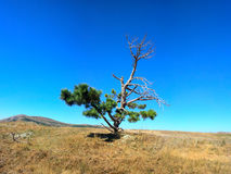 Lonely old half dry pine on plateau 1. Dry mountain meadows and mountain steppes. Lonely old half dry pine on tableland, Dry mountain meadows and mountain stock photography