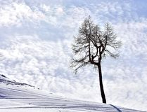 Winter Scene Tree and Sky. Lonely old larch on a snowy hill in the afternoon with cloudy sky on the background. Copy space royalty free stock images