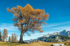 Lonely Old Larch Tree, mountains panorama Stock Image