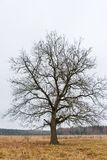 Lonely old oak on the background of the autumn sky royalty free stock photos