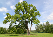 The lonely old oak grows in park Stock Image