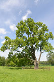 The lonely old oak grows in park, Russia Stock Images