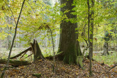 Lonely old oak tree in fall. Among juvenile hornbeams, Bialowieza Forest, Poland, Europe Royalty Free Stock Photo