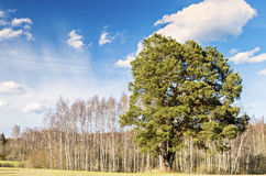 Lonely old pine in countyside by spring Royalty Free Stock Image