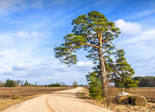 Lonely old pine near countyside road Stock Photography