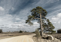 Lonely old pine near countyside road Royalty Free Stock Photo
