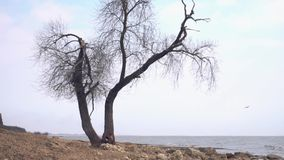 Lonely old tree by the sea. Footage. Lonely dry tree trunk on the beach near the sea on a depressing cloudy and rainy. Day stock video