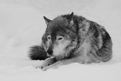 Lonely old wolf Royalty Free Stock Photography