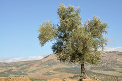 Lonely olive tree Royalty Free Stock Photo