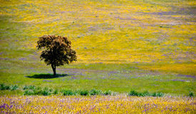 Lonely Olive tree in Andalusia, Spain. Lonely Olive tree among yellow and violet flowers in Andalusia, Spain Stock Photography