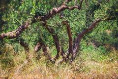 Lonely olive tree in Crete, Cretan garden stock photos