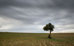Lonely Olive tree with moving clouds Royalty Free Stock Photography