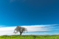 Lonely olive tree Stock Photography