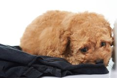 Lonely one poodle puppy. Laying on black cloth stock photos