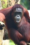A Lonely Orangutan. The orangutans are the only exclusively Asian living genus of great ape. They are the largest living arboreal animals. They have longer arms Stock Photo