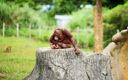 Lonely Orangutans Stock Photo