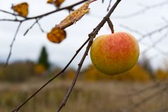 Lonely Organic Apple On Apple Tree, Autumn Has Come, It`s Time To Harvest Apples Stock Image