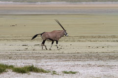 Lonely Oryx in the Etosha Pan Salt Desert Stock Images