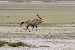 Lonely Oryx in the Etosha Pan Salt Desert stock images