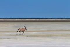 Lonely oryx at the Etosha salt pan Royalty Free Stock Image