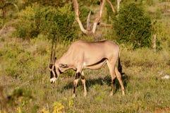 Lonely Oryx grazing in the savannah. Of Samburu Park in central Kenya stock images