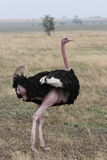 Lonely Ostrich Stock Image