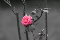 The lonely and outstanding rose flower stock photo