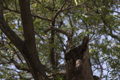 Lonely owl. One Spotted owlet live in the tree Stock Photography