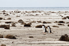 Lonely Pair of Gentoo Penguins Stock Photos