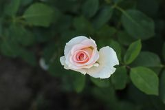 Lonely pale pink rose. On a dark green background of their own dark green leaves in the park stock photography