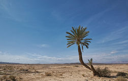 Lonely palm. Tree in a dry area over green rose valley close to Kelaa M'gouna region Royalty Free Stock Photo