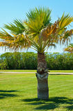 Lonely palm in park Royalty Free Stock Photography