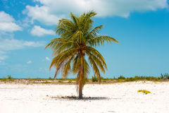 Lonely palm tree on the beach of Playa Sirena, Cayo Largo, Cuba. Copy space for text. Lonely palm tree on the beach of Playa Sirena, Cayo Largo, Cuba. Copy Stock Image