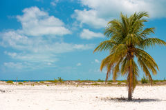 Lonely palm tree on the beach of Playa Sirena, Cayo Largo, Cuba. Copy space for text. Lonely palm tree on the beach of Playa Sirena, Cayo Largo, Cuba. Copy Royalty Free Stock Photos